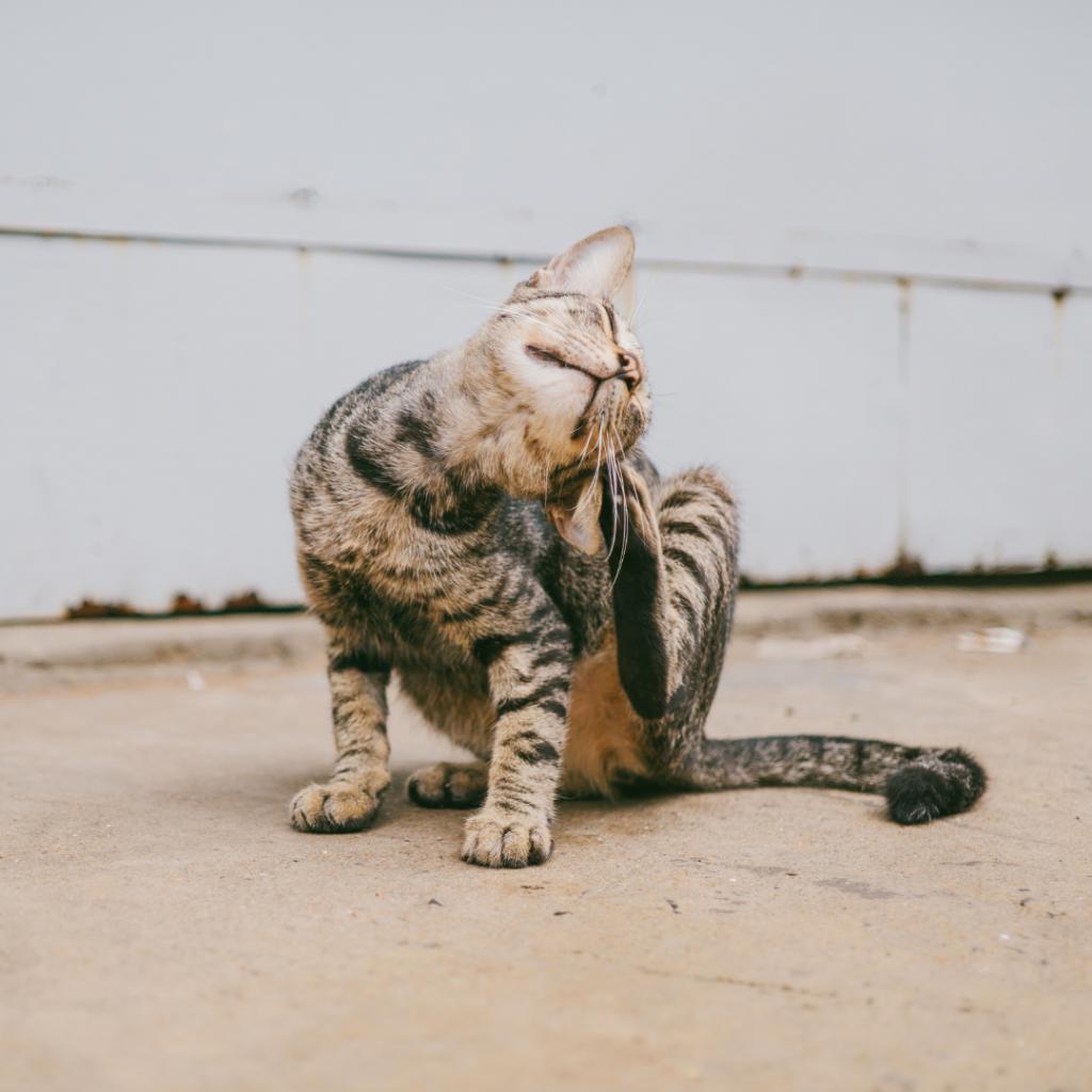 Vlooien kat